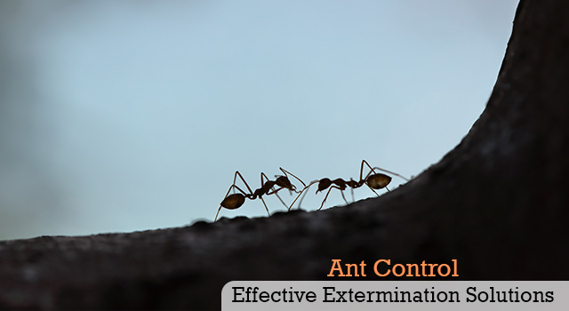 Ant Control and Extermination Services in San Diego