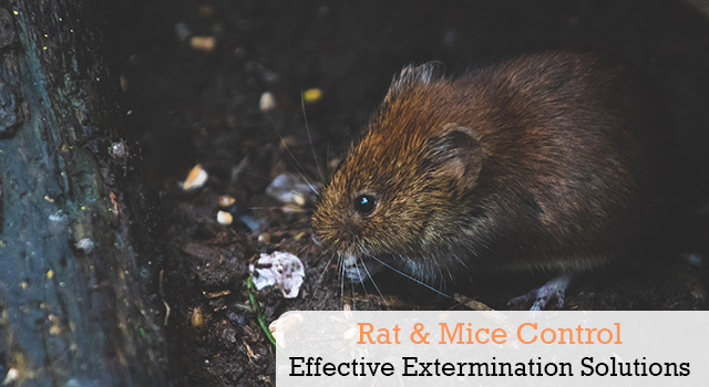 Rat and Mice Control and Extermination Services in San Diego